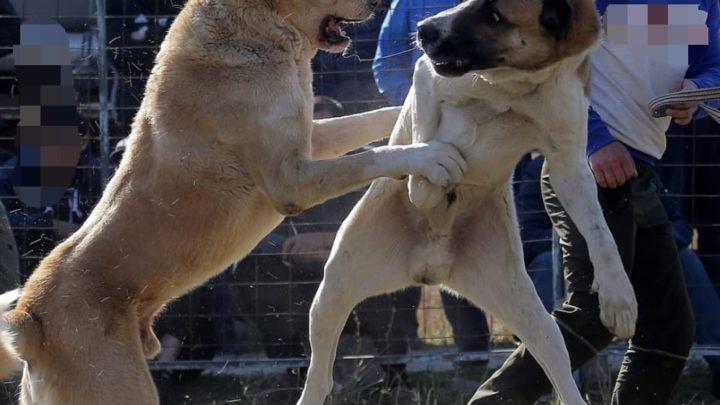 Polícia do Paraná prende 40 pessoas em rinha internacional de cães