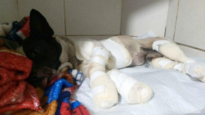 Associação dos Protetores de Animais Independentes cuida de cachorro arrastado pelo dono